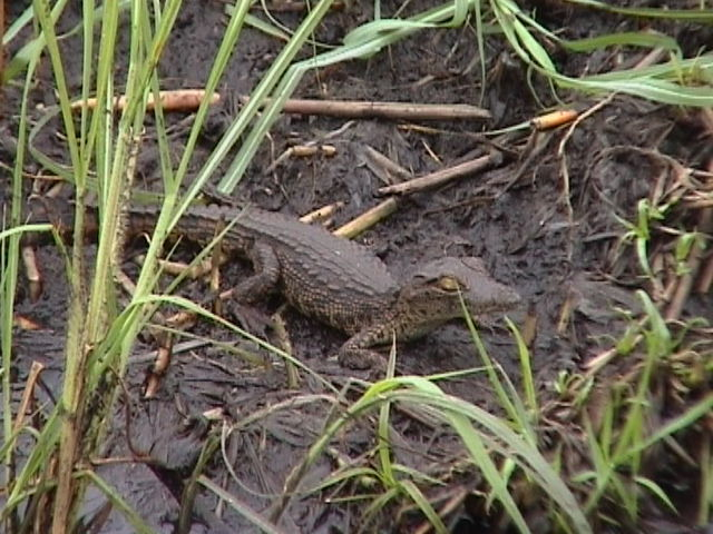 Baby crocodile on the Chobe River