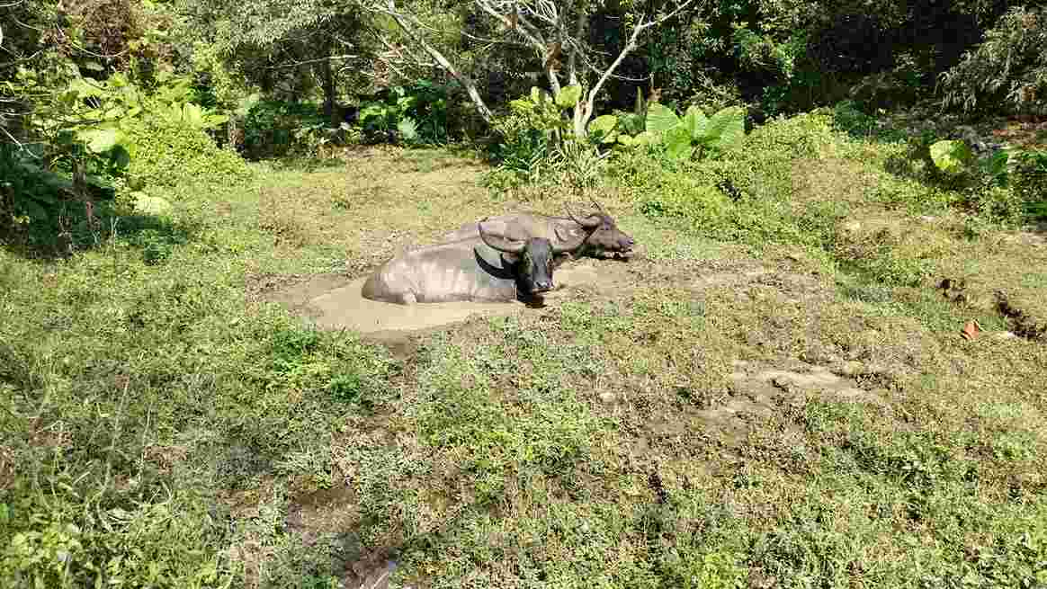 Water Buffalo on Lantau Island