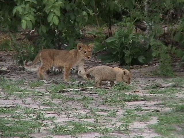 A couple of young lions playing at Chobe Game reserve