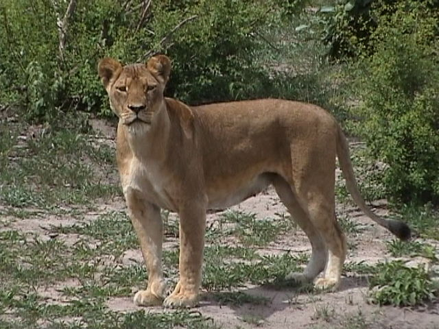 Lioness at Chobe Game Reserve