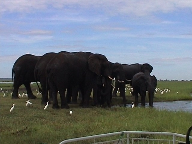 Elephants at Chobe, closer up