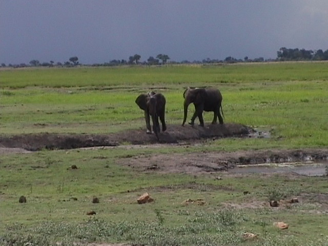 Elephants with rain storm behind
